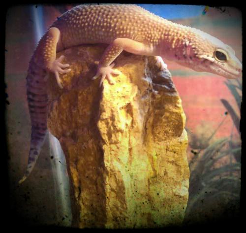 Sly Leopard Gecko Breeder