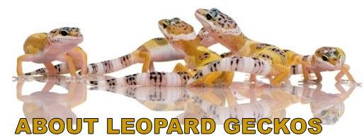 About Leopard Geckos