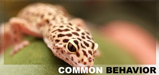 leopard gecko behavior