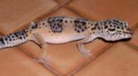 Impacted Gecko