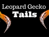 The Leopard Gecko Tail – All You Need To Know
