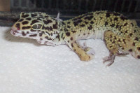 MBD Leopard Gecko