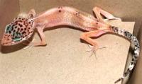 Parasites Leopard Gecko
