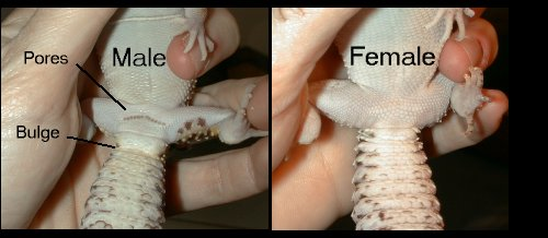 Leopard Gecko Gender